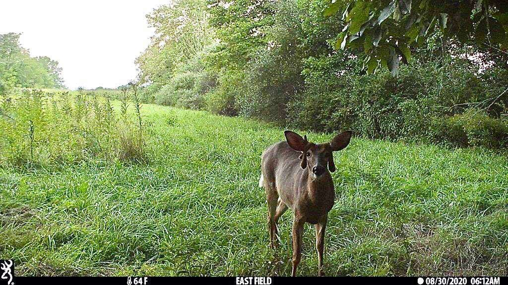 A trail camera photo of a deer with misshapen antelers.