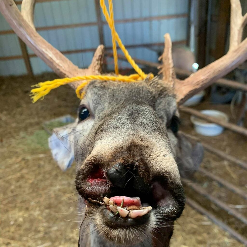 A deer with misshapen mouth