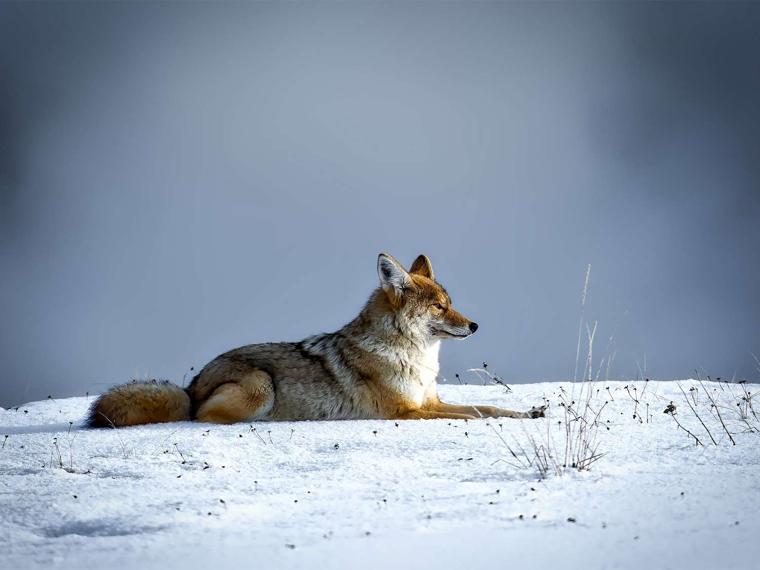 A coyote in the snow.