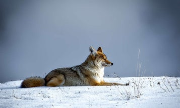 Coydog, Coywolf, or Coyote? The 5 Things You Need to Know About Eastern Canids