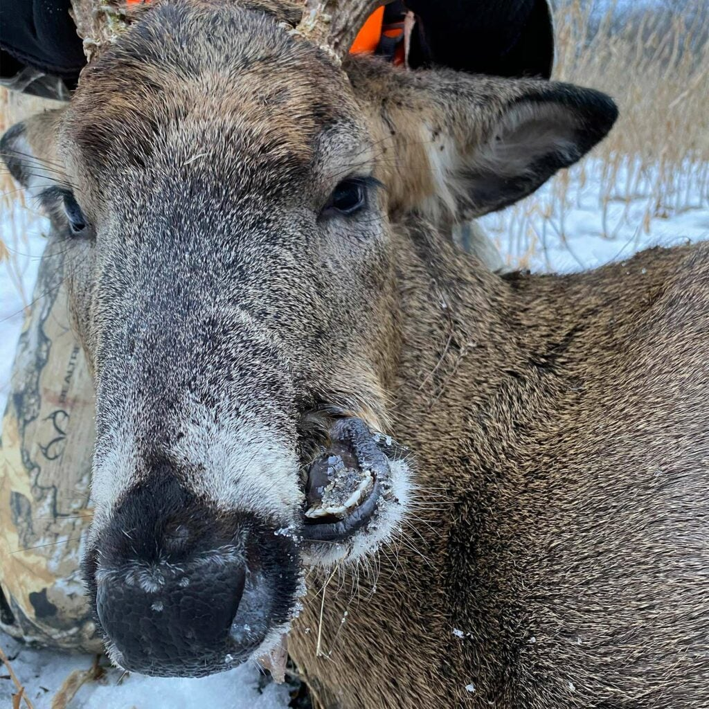 A deer with a misaligned jaw.