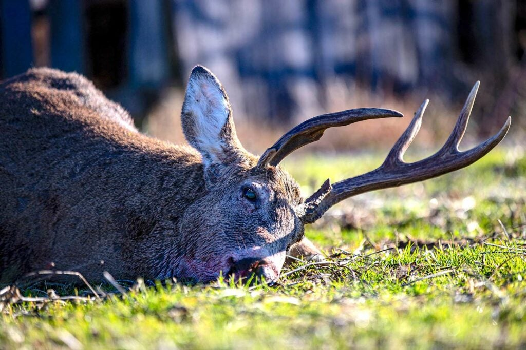 A deer on the ground with misshapen antlers.
