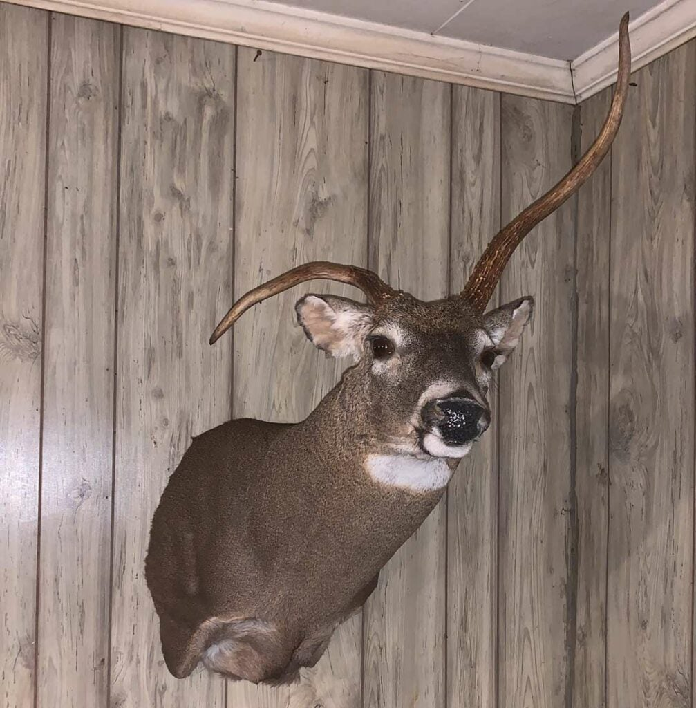 A deer with misshapen antlers.