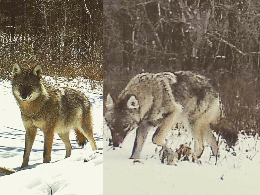 A collage of two coyotes.