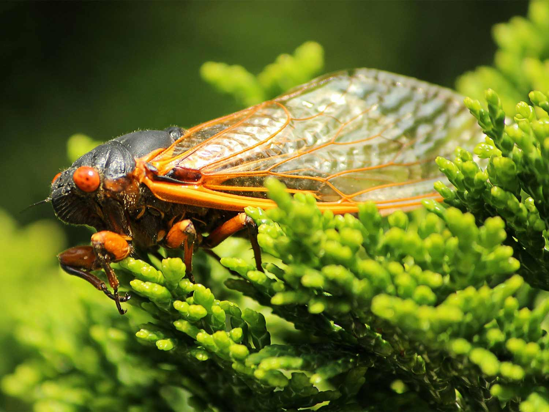 A Brood X Cicada on lush green things.