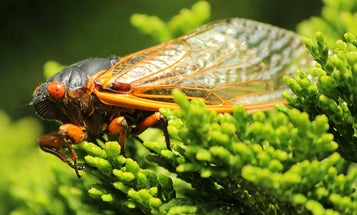 3 Perfect Fly Ties For This Spring's Cicada Swarmageddon