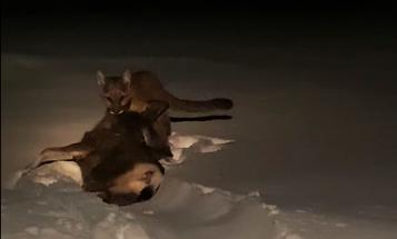 Video: Mountain Lion Attacks Deer in Woman's Backyard