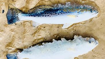 Frozen fish winter storm.