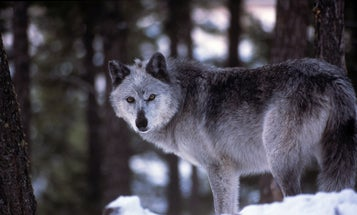 Wisconsin Hunters Take 216 Wolves and Exceed Harvest Quota in Controversial Hunt That Closed After Just Three Days