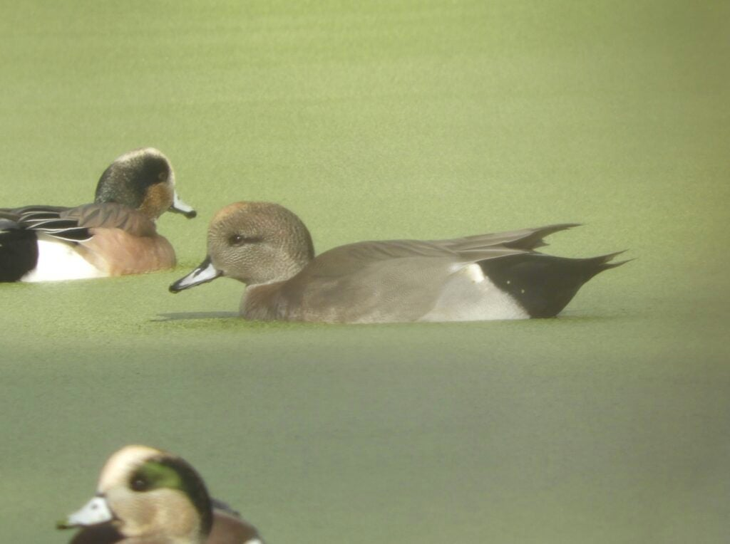The body of this hybrid resembles a gadwall, while the head and bill have the characteristics of a wigeon.