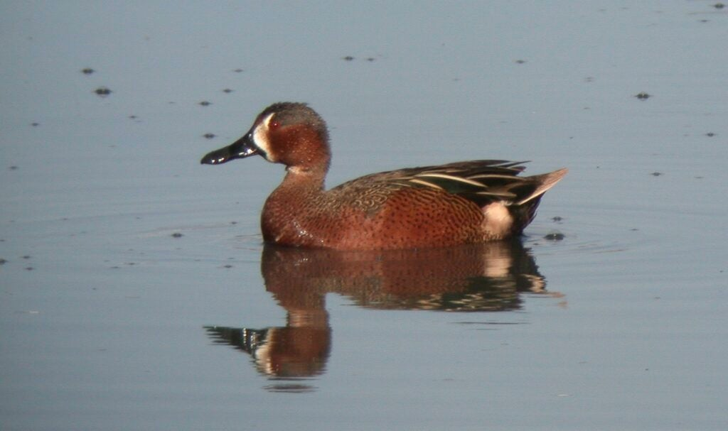 Cinnamon teal are a coveted waterfowl species, but this hybrid is even more rare.