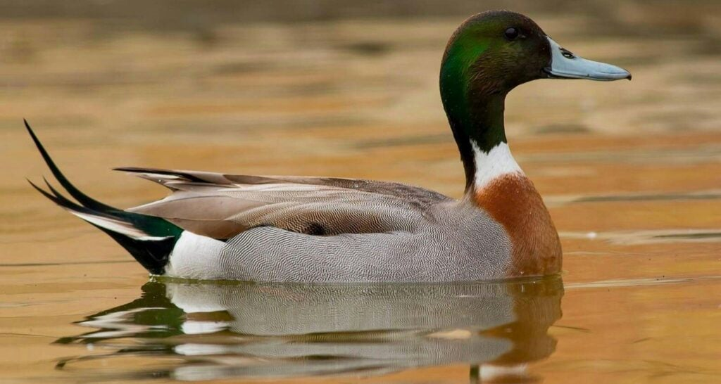 Mallard/pintail hybrids are the most common.