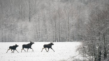 Vermont is proposing a special moose hunt to curtail its winter tick population.