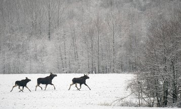 Vermont Proposal Seeks to Reduce Ticks By Killing More Moose