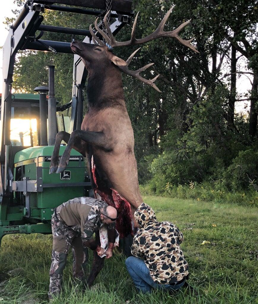 Two hunters field dress a large elk.