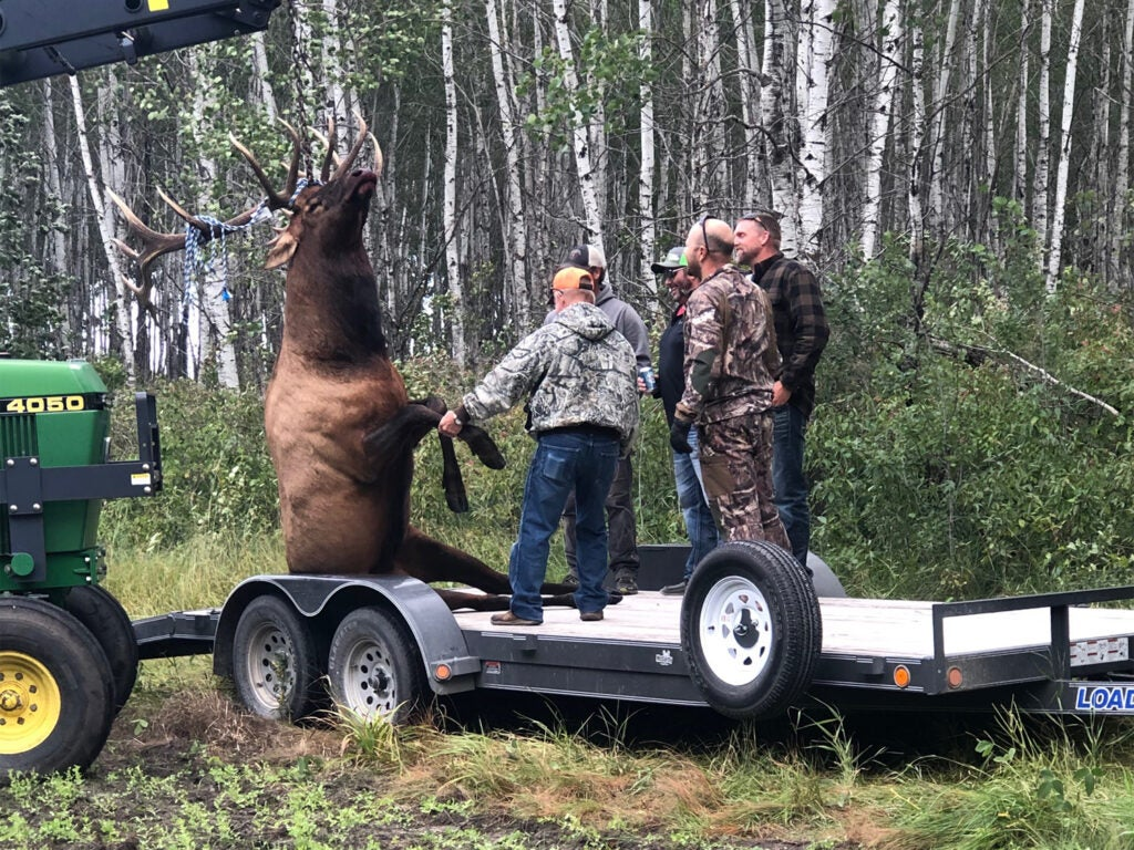 Hunters haul a large elk onto a trailer bed.