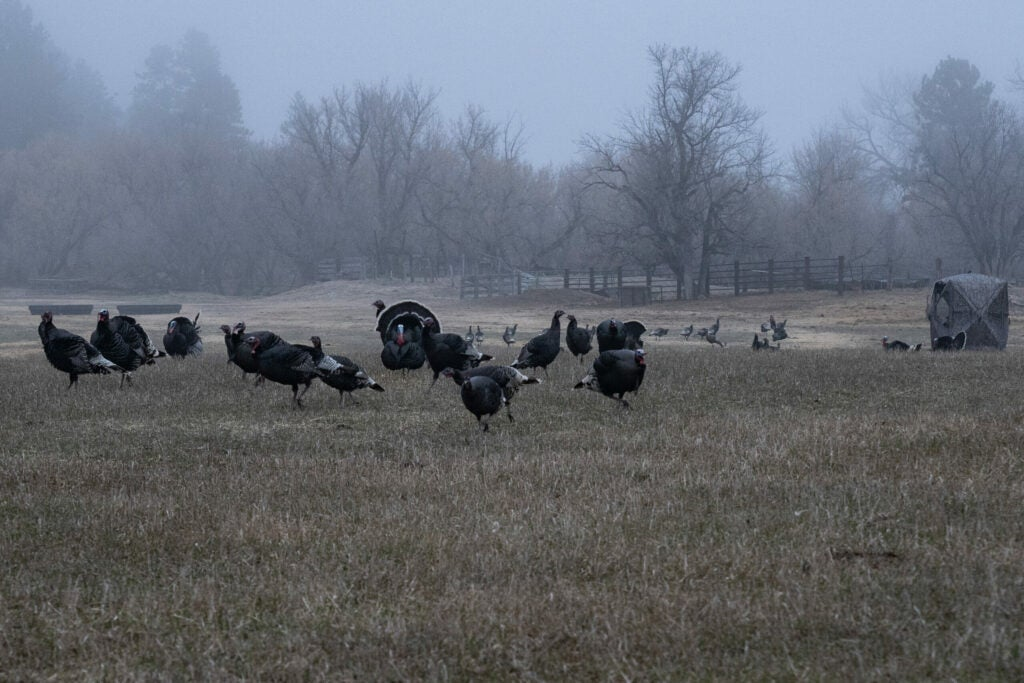 Nebraska has three of the four subspecies of American turkeys—Easterns, Merriam's and Rio Grande.
