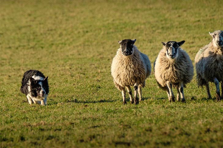 A border collie herds sheep.