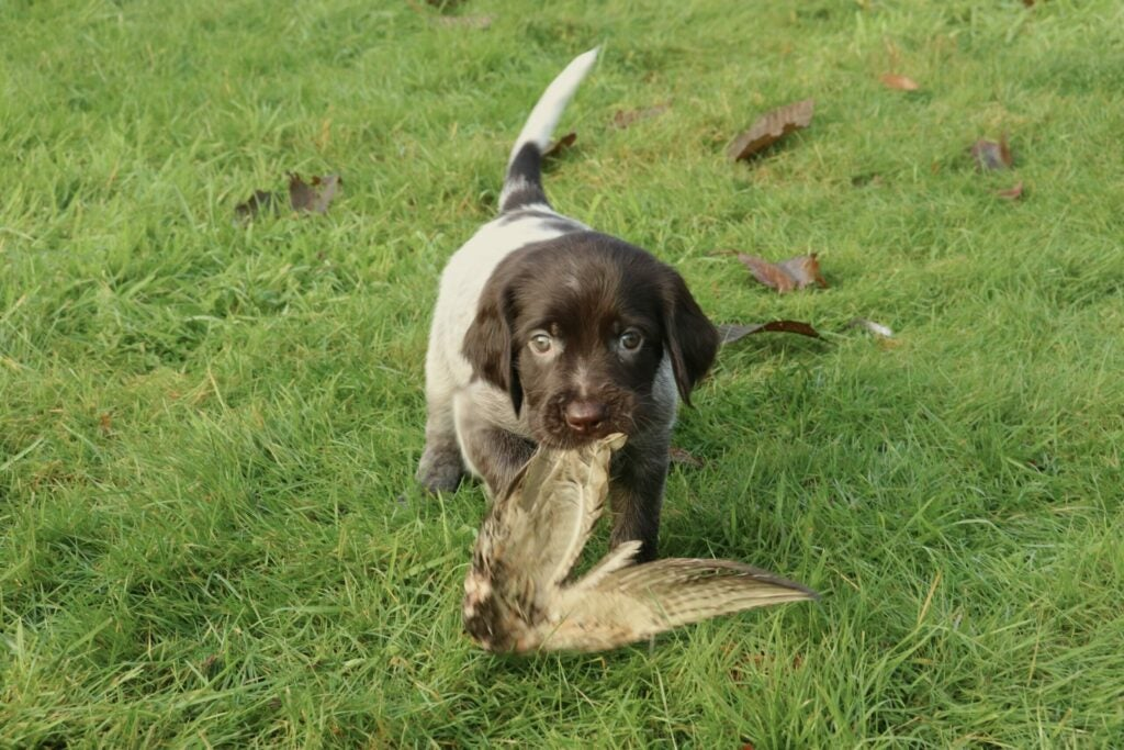 You can teach a dog of any breed to be a bird dog on some level.
