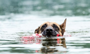 How to Turn a Rescue Dog, a Couch-Potato Lab, or an Off-Breed Pup into a Hunting Dog