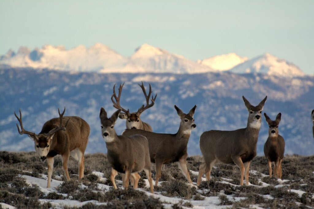 Big mule deer bucks and does in a mountain landscape.