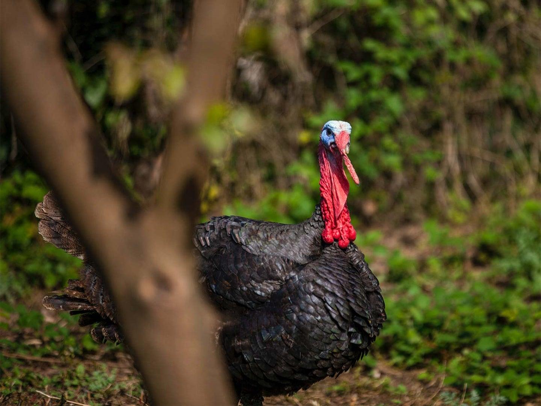 A wild turkey walking through an open grove.