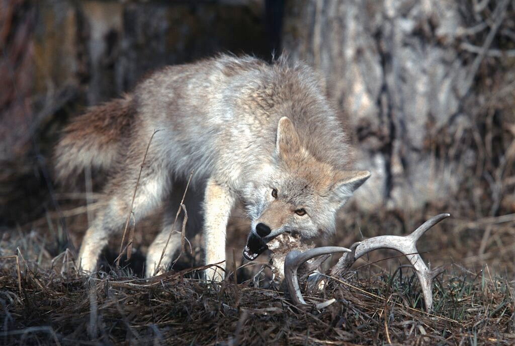 The .220 can kill coyotes at longer distances than many of the more traditional varmint loads.
