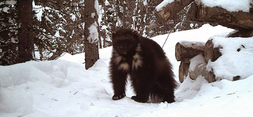 At least one wolverine has made Yellowstone home.