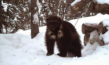 Are Wolverines Making a Comeback in the Lower 48?