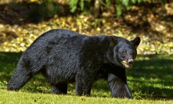 Black Bear Hunters Set Harvest Records in Multiple States