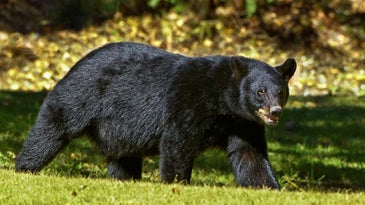 A large black bear walking th rough an open clearing.