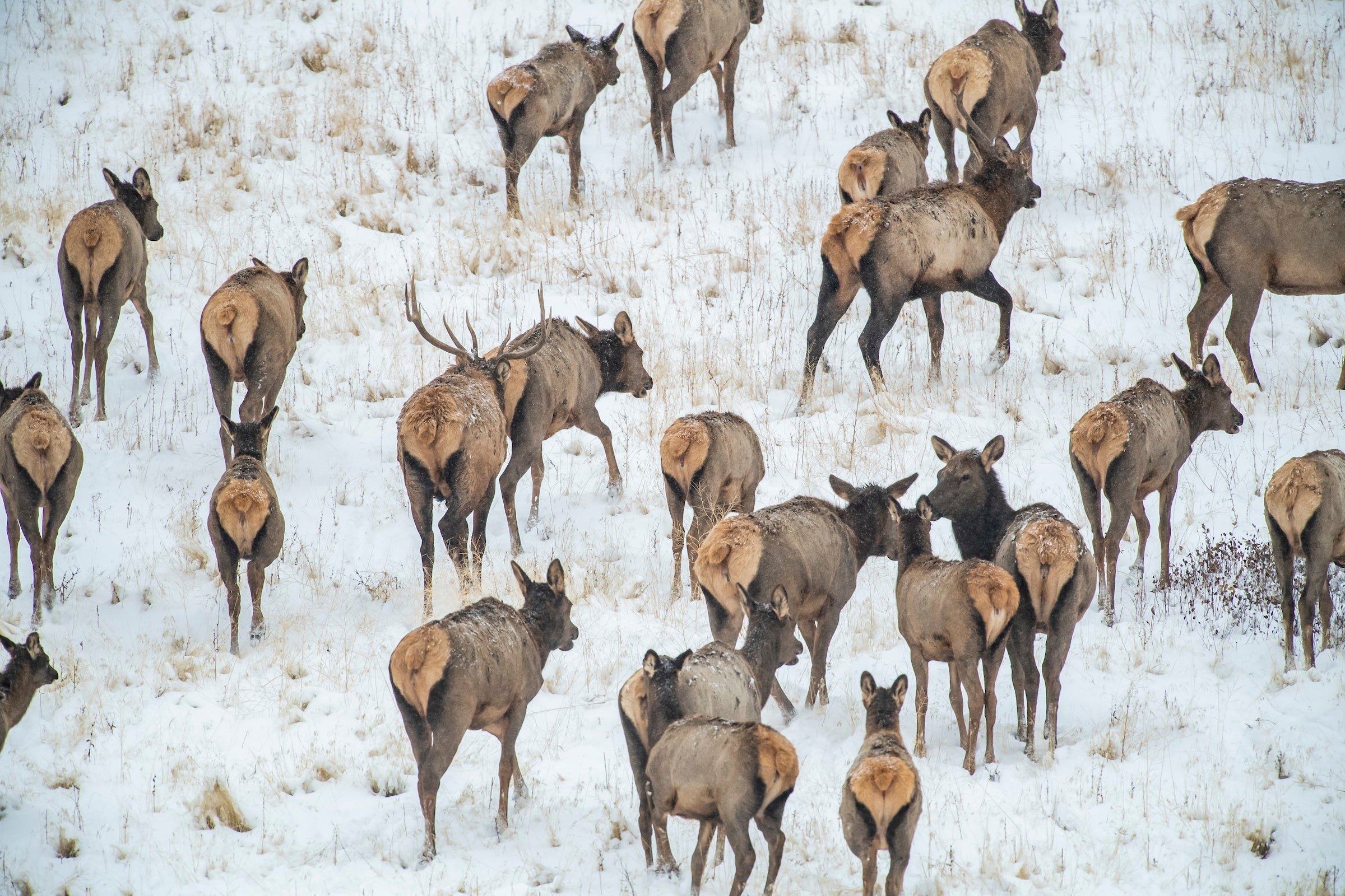 Elk Management in Montana Shows the Blind Spots of Our North American Model of Wildlife Conservation