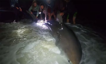 Video: Great White Shark Caught (and Released) from Florida's Pensacola Beach