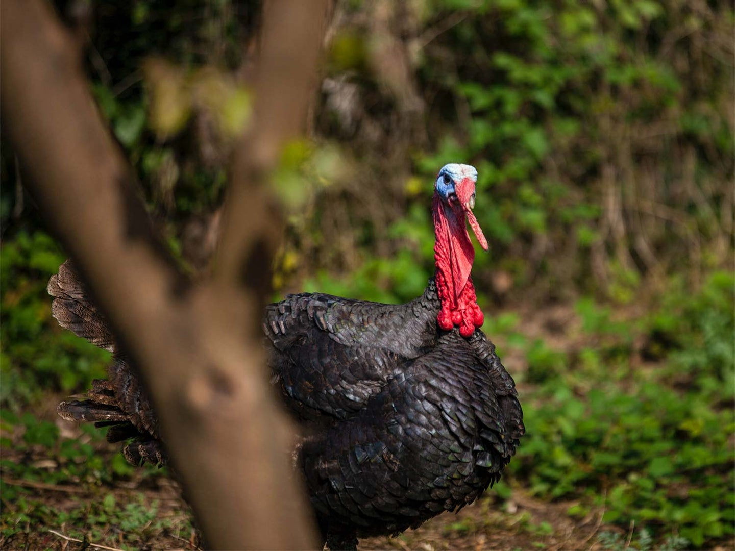 A turkey walks through a clearing in the forest.