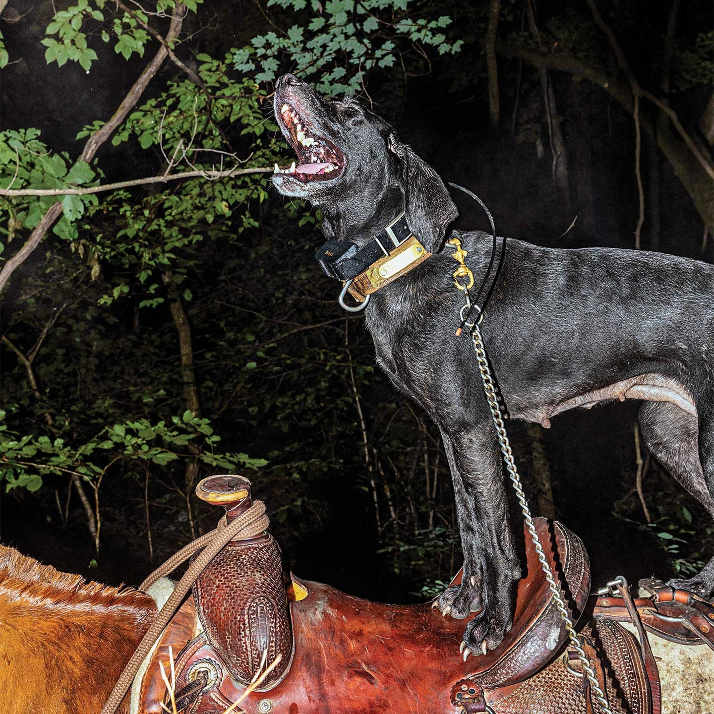 hunting dog standing on a horse back and saddle.