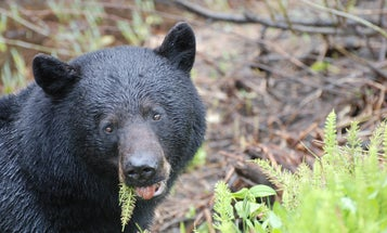 Black Bears Are Suffering From a Mystery Disease in California