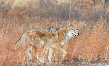 New Mexico to Ban Trapping on Public Land