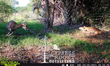 Florida Panther Attacks a Fawn, Captured on Trail Camera