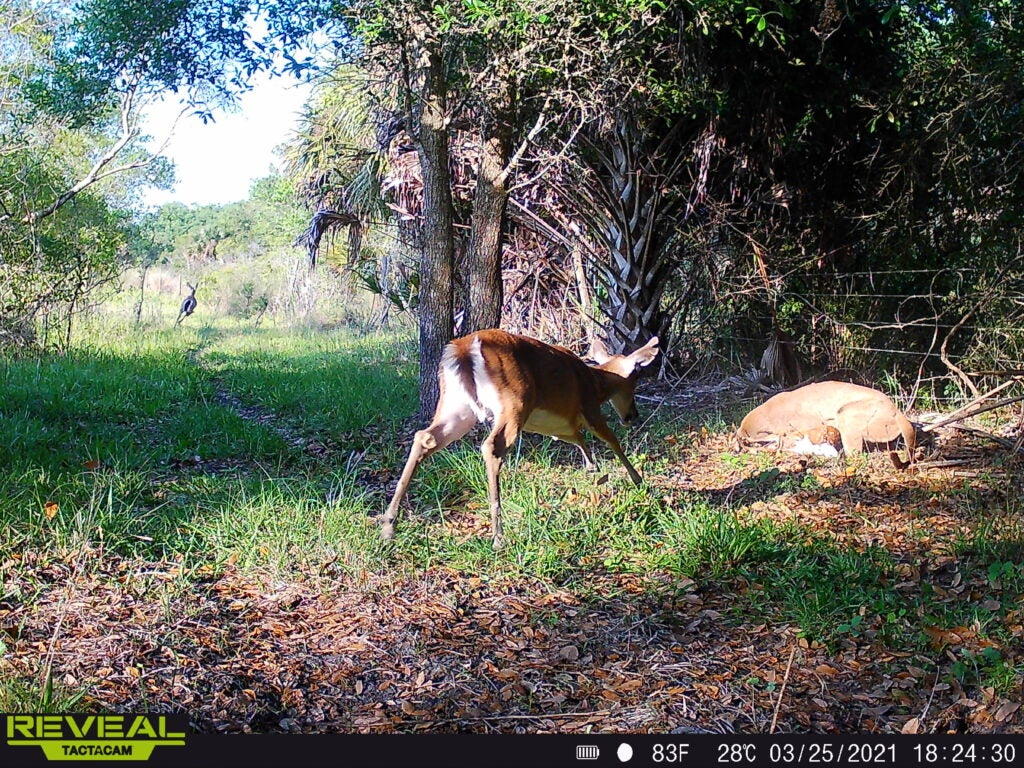 A Florida panther overpowers a fawn on a sprawling farm west of famed Lake Okeechobee.