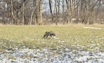 How to Train Your Hunting Dog When You Live in the City