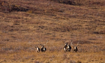 The Proposed Closures of Caribou Hunting on Some Federal Lands Isn't Based on Population Declines—It's About Human Conflicts