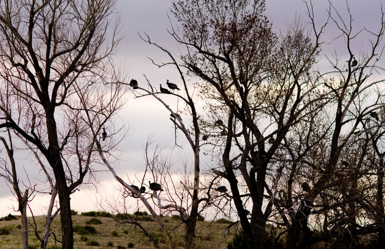 A flock of turkeys on the roost.