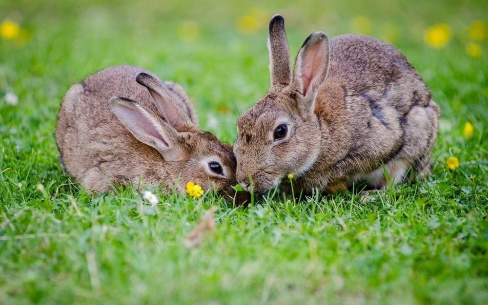 Two grey rabbits eating grass in a green garden at daytime.