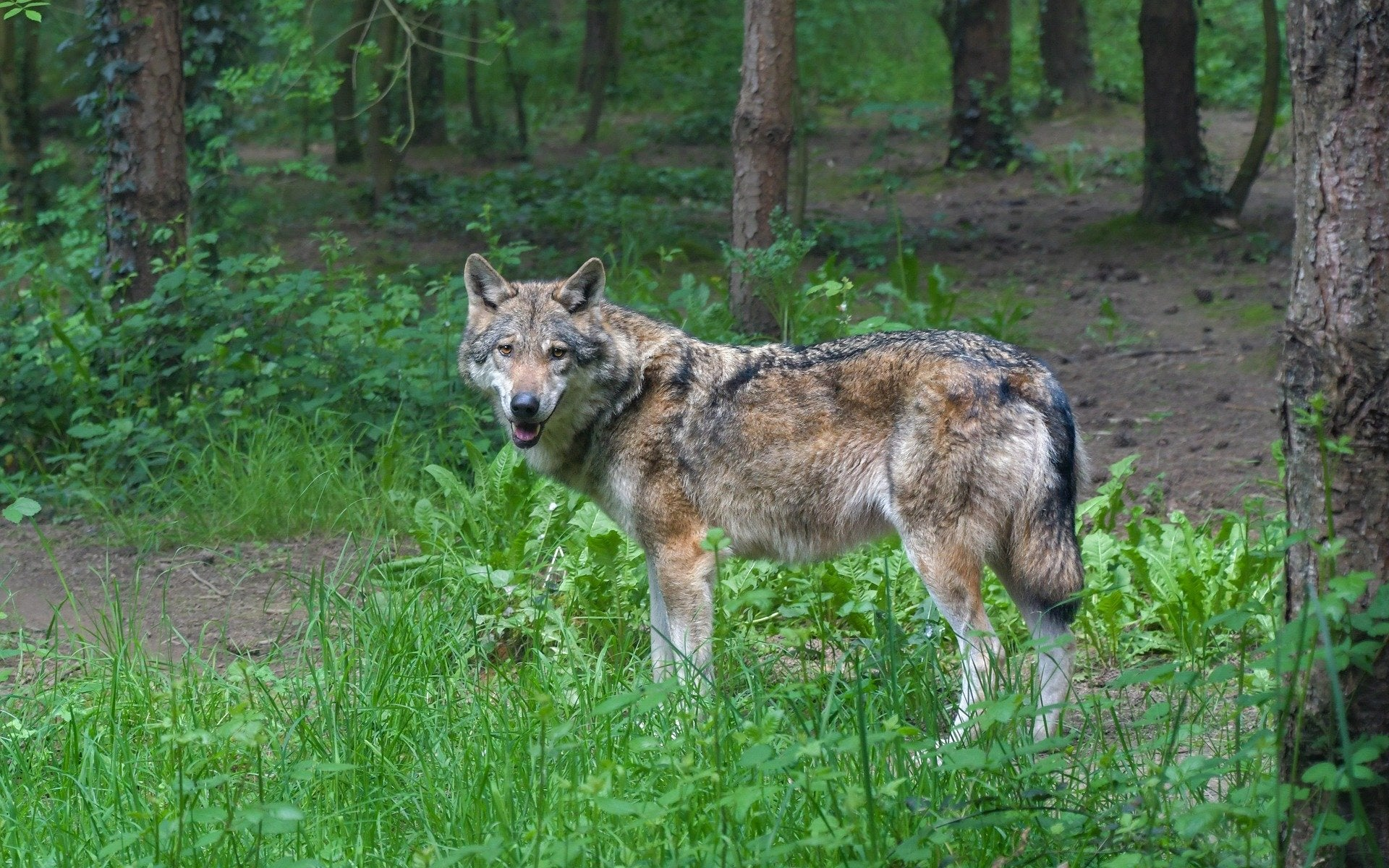 Gray Wolves in Nebraska?  Genetic Test Reveals One Was Captured By A Coyote Hunter