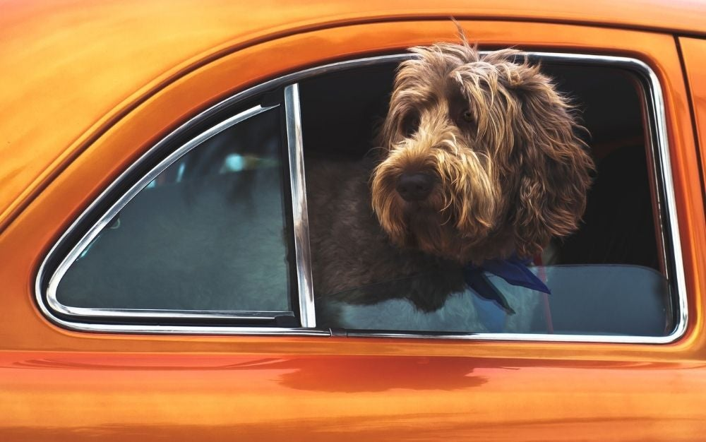 A brown hair dog staying outside of the window of a orange car.