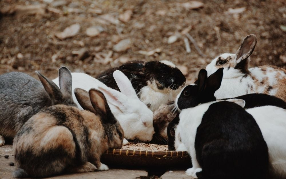 Different color of rabbits eating all on the same bowl.