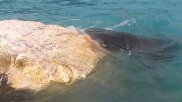 A tiger shark feeding on a whale carcass