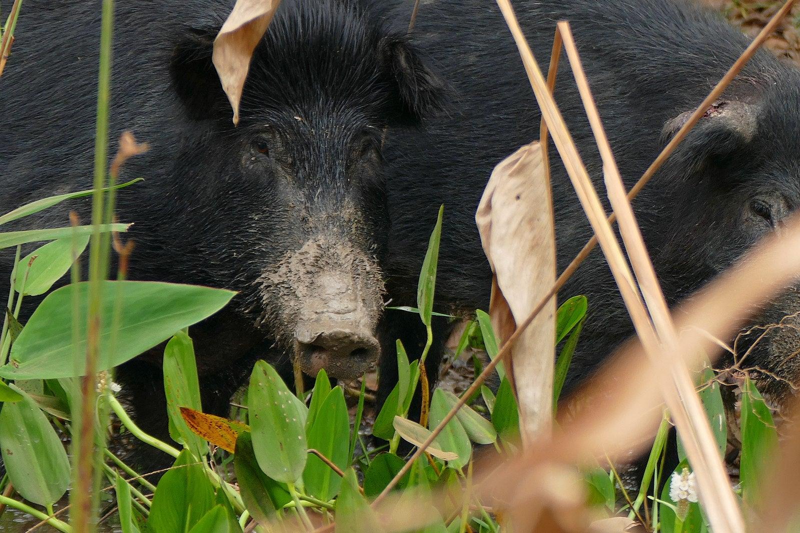 Feral pigs feeding.