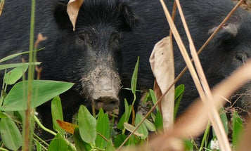 "Hunters Down 3 Tons of Feral Pig During Georgia's ""Hog Jam"" Tournament"