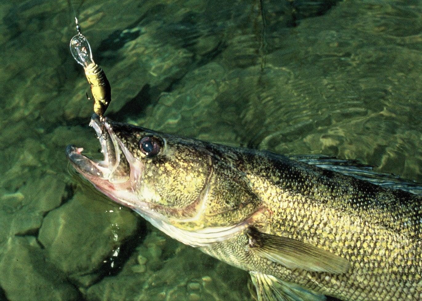 Walleye regulations on Minnesota Mille Lacs lake will allow walleye harvest